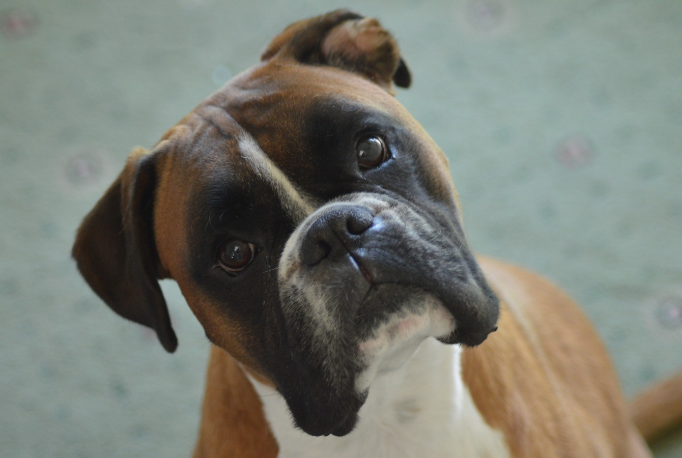 gallery/boxer-3644625_1920